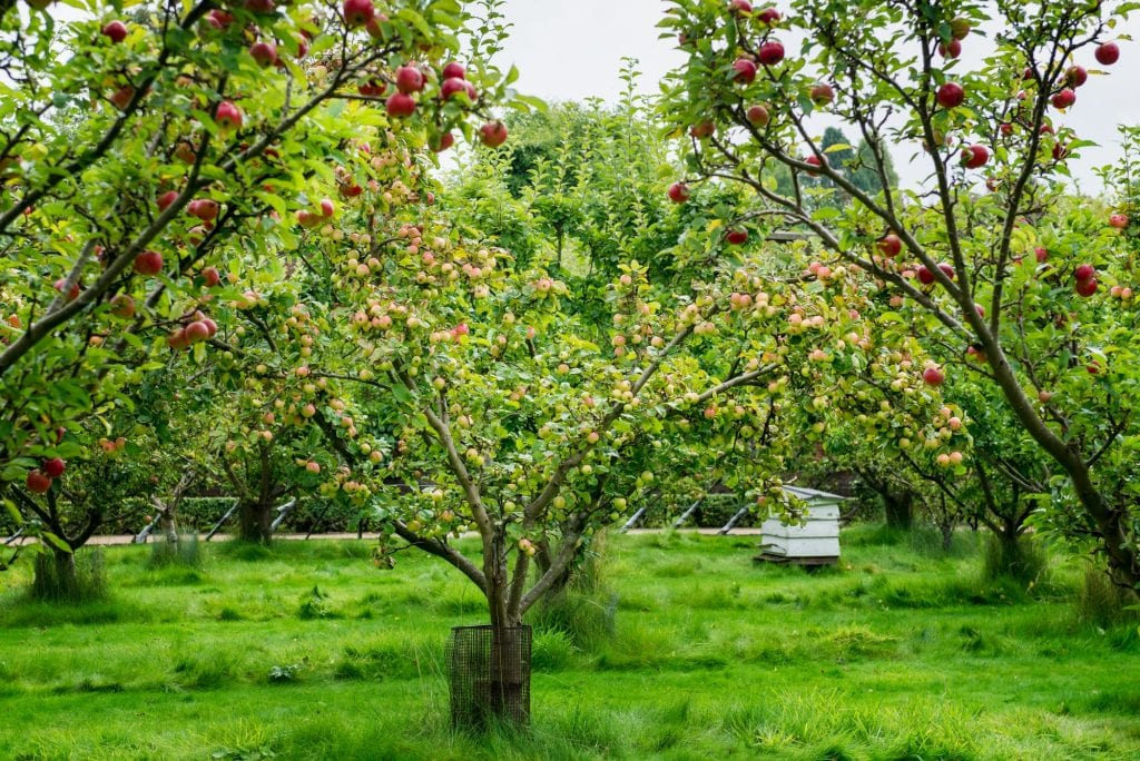 Apple trees in the Garden during Autumn, UK